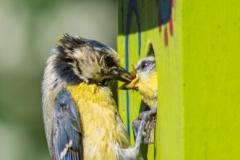 """blue tomtit feeds its newborn"" / Photographer - Jasper Legrand"