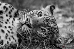 """Cheetah"" / Photographer - Jasper Legrand"