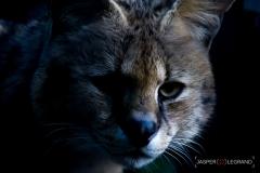 """Servalcat 2017"" / Photographer - Jasper Legrand"