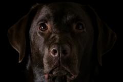 """Labrador"" / Photographer - Jasper Legrand"